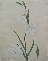 Large White-flowered Gladiolus.