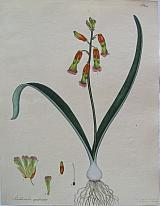 The Four-coloured Lachenalia