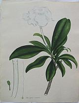 The Waved-flowered Brunsfelsia