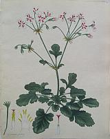 The Painted-flowered Geranium.