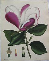 The Purple-flowered Magnolia.