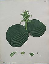 The Massonia-leaved Melanthium .